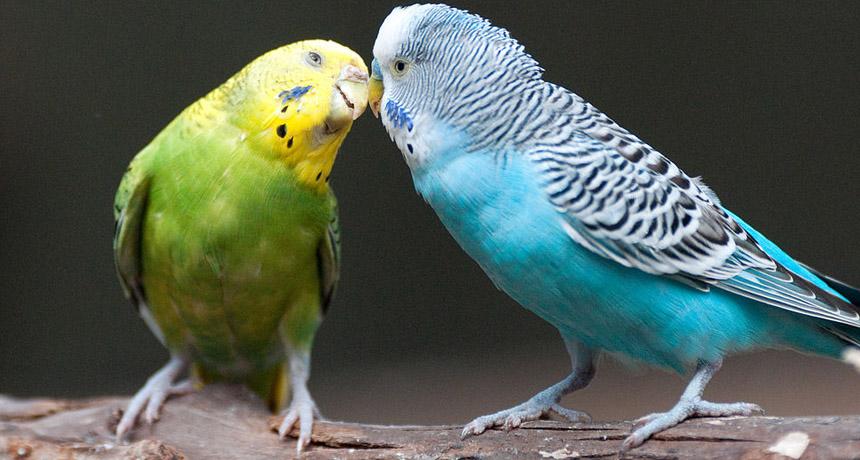 Resultado de imagem para parakeet